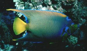 BF - Queen Angelfish001