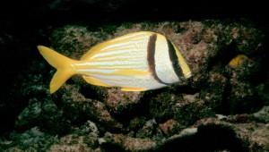 Porkfish - Bahamas