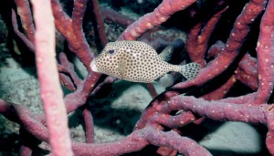 Smooth Trunkfish - Belize